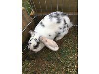 Beautiful dwarf lop bunnies