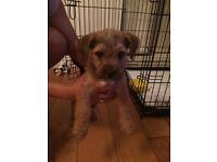 Lakeland X pup for sale