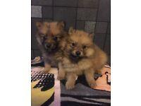 Miniature Pomeranian puppies ready now