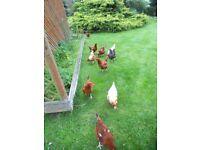 10 hybrid chickens