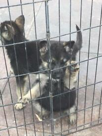 German shepherd shephard puppies Forsale
