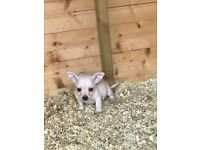 Chihuahua boy pup for sale