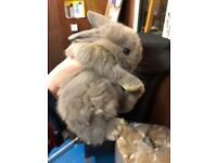 Beautiful Male Lop Eared Bunny