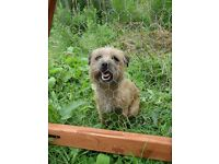 Border terrier bitch for sale. Lovely little 2 year old looking for a new home.