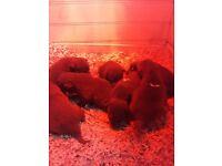 Welsh colie x kelpiea pup