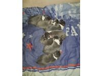 Blue staffordshire bull terriers