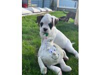 White male Boxer Puppy
