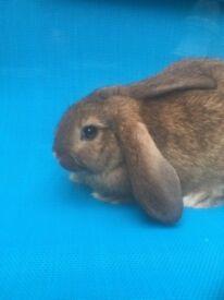 Baby mini lop cross bunnies