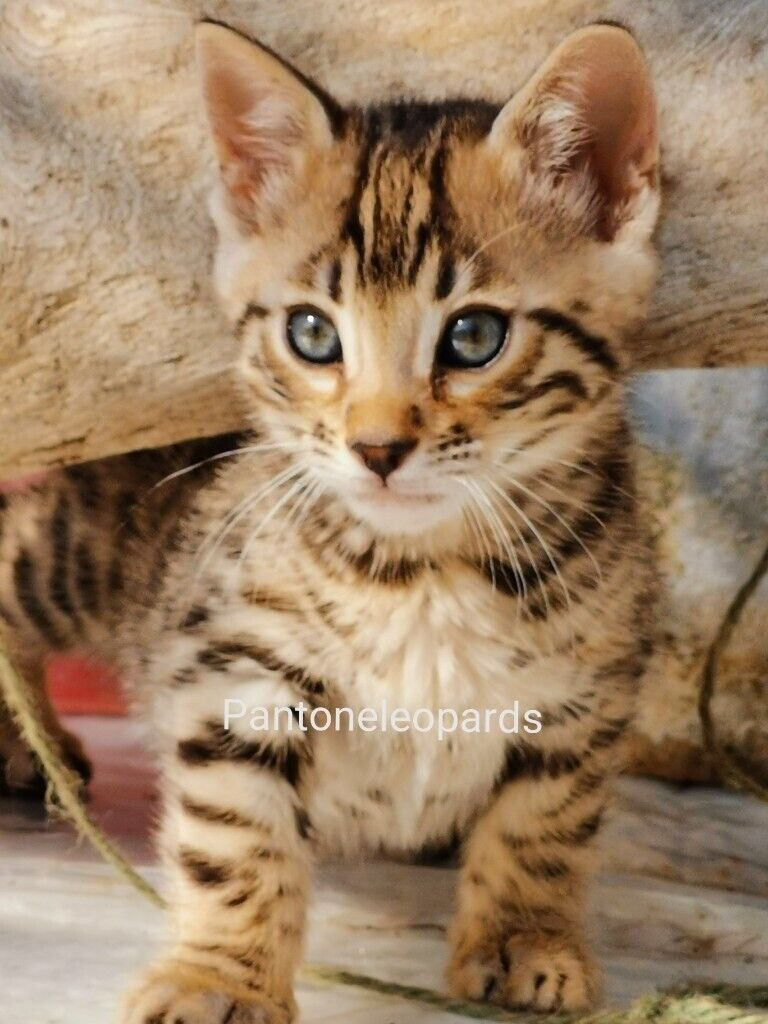 Stunning Wild Look Bengal Tiger Male Pedigree Kittens In Manchester City Centre Manchester Gumtree
