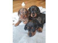Miniature dachshund puppies. KC registered and pra clear.