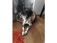 5 month old puppy Dalmatian/Labrador needing good home