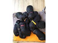 Gorgeous Golden Doodle Puppies