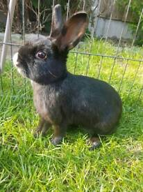 Black girl bunny with white nose