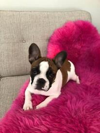 PEDIGREE MALE FRENCH BULLDOG FOR SALE