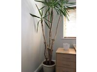 Yucca plant - Approx 8ft tall. Very Healthy.