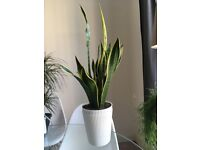 Sansevieria trifasciata Laurentii - mother-in-law's tongue (60cm Approximately) – House plant