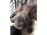 French Bulldog Puppies (Prices reduced)