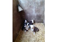 Pure bred border collie pups