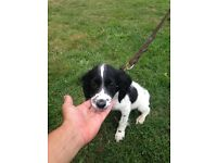 Male springer spaniel puppy