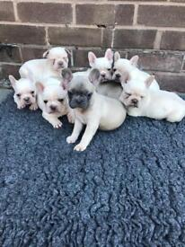 Blue platinum French bulldogs