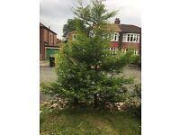 2 x established 8 foot Golden Laylandii tree/bush