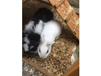 2 Rabbits plus hutch food and bedding