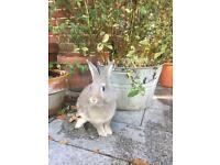 7months old lionhead dwarf female looking for a loving home