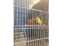 Canary Spanish raza