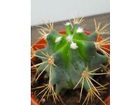 Succulent Cacti Cactus 'BARREL' 1 year old