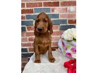 Irish setter puppies for sale
