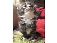 Maine Coon X Super Cute Kittens 🐾 🐱 💕