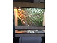 Frilled dragon vivarium and full set up