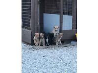 Lurcher pups for sale £200