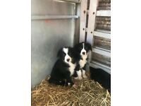 Pure bred Collie Pups
