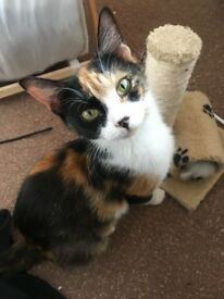 Cat (calico/tri-colour)