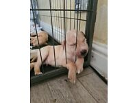 Puppies for loving homes