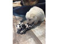 German shepherd puppies 1 girl 1 boy Kc registered