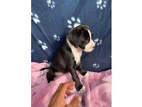 Boxer x Puppies