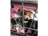 Lovely French Bulldogs For Sale