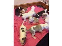 American Bulldog x Staffordshire bull terrier puppies