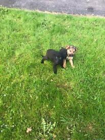 Full breed German Shepard's pups for sale
