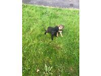 Full breed German Shepard's pups for sale