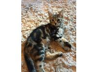 Beautiful Female Half Bengal kitten
