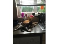Two adults cats and a kitten for sale lovely cats