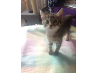 4 ADORABLE KITTENS FOR SALE - £55 each