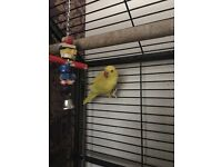 Yellow baby Indian ringneck parrot can learn to talk