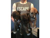 3 girl lurcher puppies