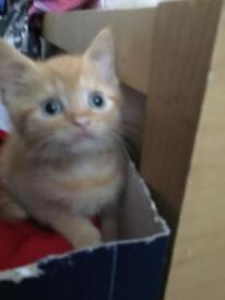 British shorthair kittens(still available 13/08)2 boys left £260