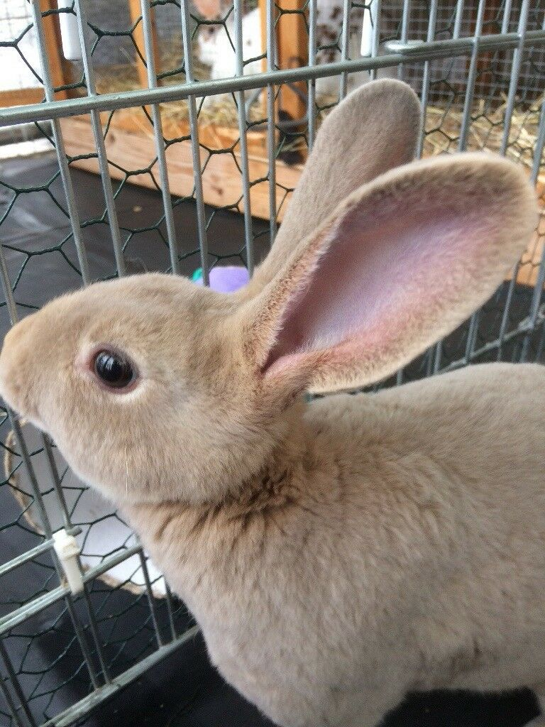 Standard Rex Rabbits. ( possibly Buck & Doe) from same litter.MUST be bought together£40:00