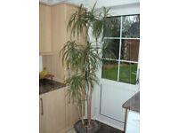 Indoor Plant/Tree